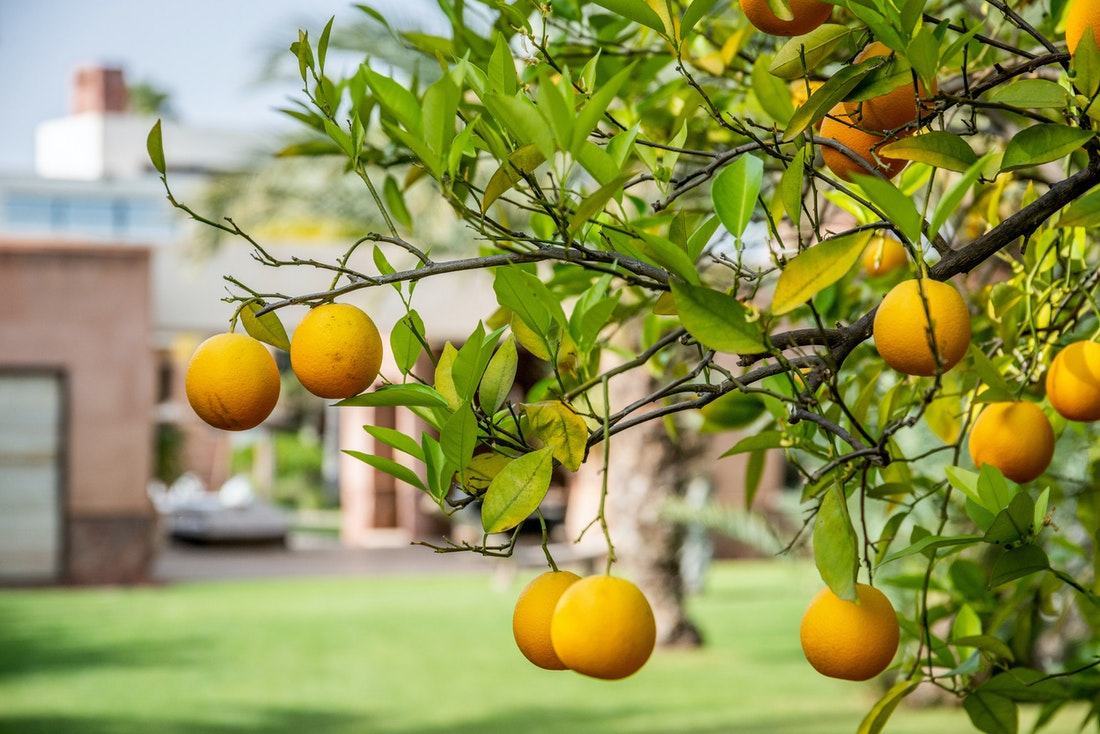 Orange tree in the private garden of Zagora private villa in Marrakech