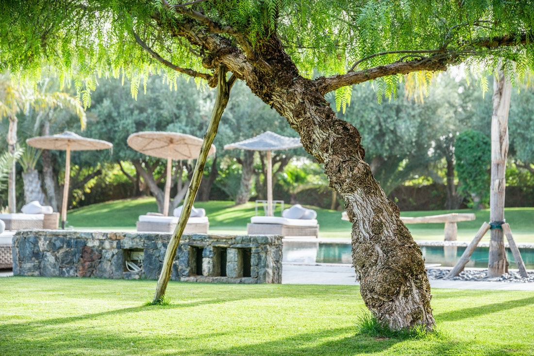 Old olive tree in the private garden of Marhba luxury private villa in Marrakech
